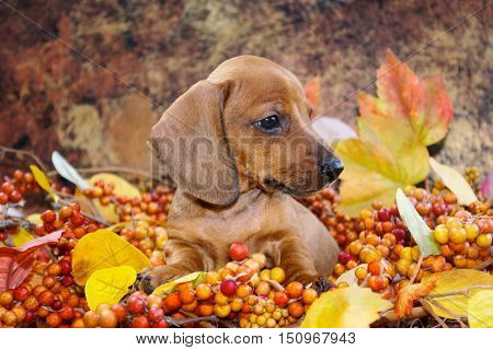 Adorable Fall Themed Dachshund Puppy in an autumn holiday scene of colored leaves and berries. Profile view of a miniature red smooth haired dachshund puppy dog in a fall display.