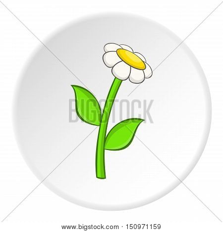 Daisy icon. Cartoon illustration of daisy vector icon for web