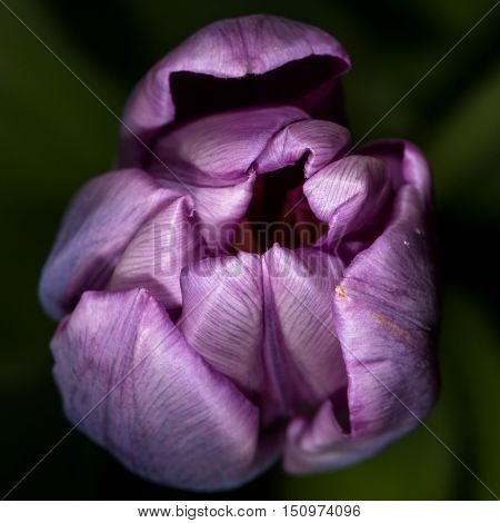 Unopened Purple Tulip with a Macro Lens Shows The Detail on Its Petals