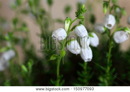 White flowers of the heath Daboecia cantabrica.