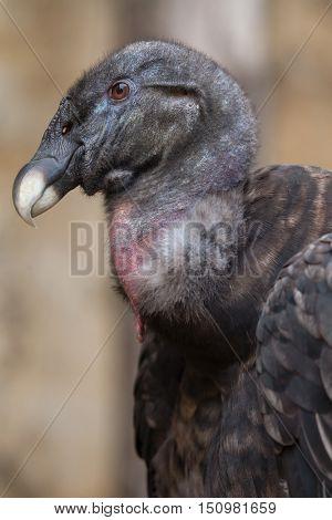 Andean condor (Vultur gryphus). Wildlife animal.