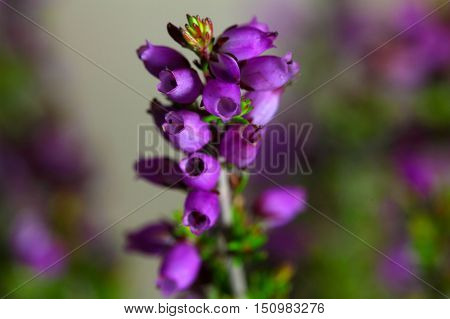 Flowers of the bell heather (Erica cinerea)