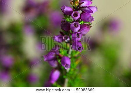 Flowers of the bell heather (Erica cinerea)