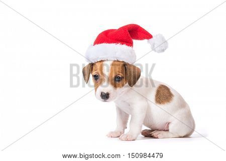 Jack Russell Terrier puppy in red santa cap  isolated on white background