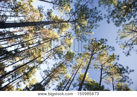 Low angle view of tall fir tree forest upward toward blue sky for concept background scene about nature