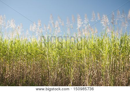 Tall sugar cane plants under blue sky as background about agriculture or biofuels