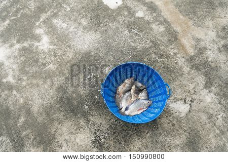 Tilapia And Nile Tilapia In Blue Plastic Bucket, Raw Fresh Freshwater Fish In Blue Plastic Basket. O