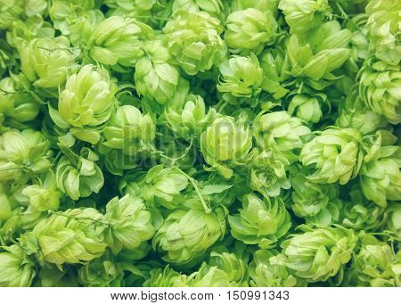 Close Up Of Green Ripe Hop Cones. Nature Background. Beer Production Ingredient. View From Above Of