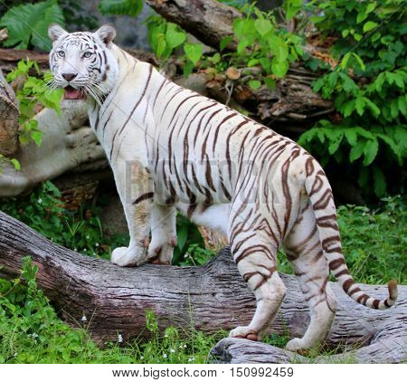 female white Bengal Tiger looking back over her shoulder on a log, zoo south of Songkhla, Thailand