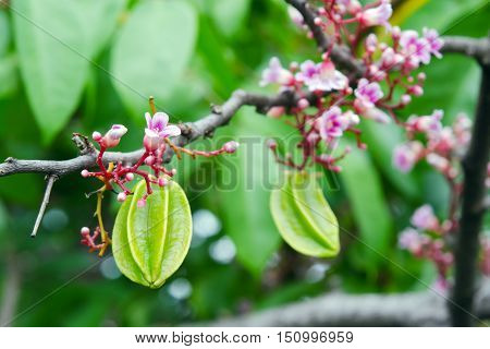 Star Apple Fruit With Flower On The Tree