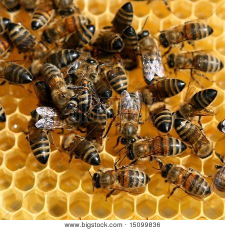 bees inside the hive