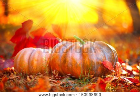 Autumn Halloween Pumpkin. Thanksgiving day background. Pumpkin patch. Beautiful Holiday Autumn festival concept. Fall scene. Orange pumpkin over beauty bright autumnal nature background. Harvest