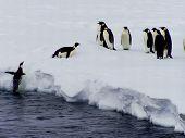 Penguin jumps on a floe