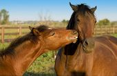 A mother horse or mare being kissed and cajoled by her foal poster