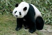 cute giant panda sitting between the bamboo in china poster