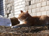 Red cat warming on hay on sunny day poster