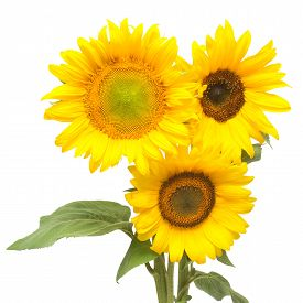 Three sunflowers isolated on white background. Flower bouquet. The seeds and oil. Flat lay top view