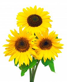 Three sunflowers isolated on white background. Flower bouquet. The seeds and oil. Flat lay top view. Texture