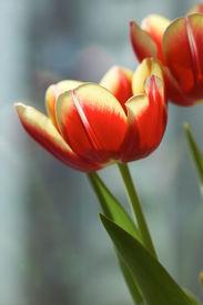 tulips under sunshine