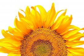 Sunflower isolated on white background. Macro. Yellow