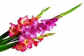 Bouquet of red and pink gladiolus flowers isolated on white background
