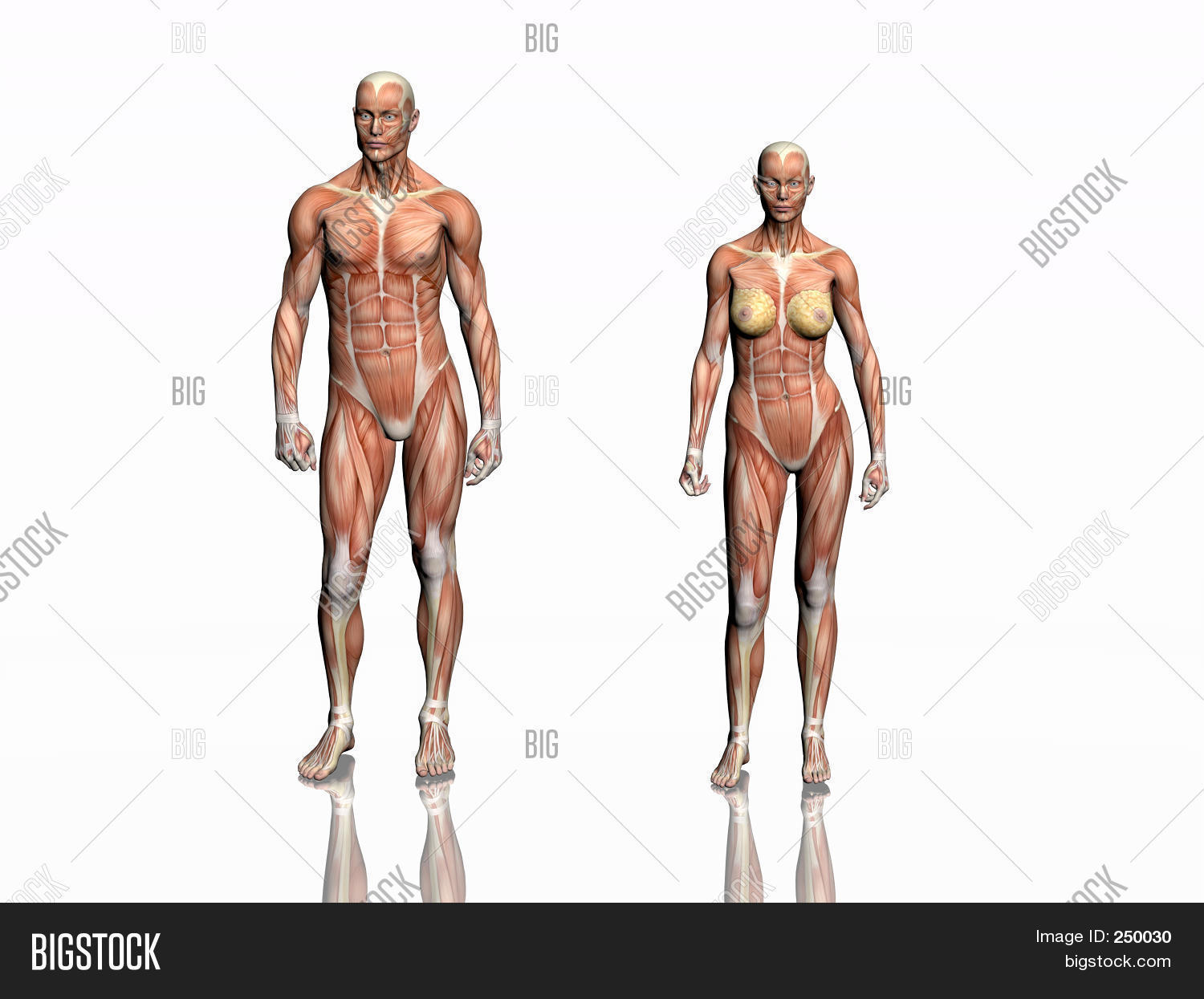 Anatomy Man Woman Image & Photo (Free Trial) | Bigstock