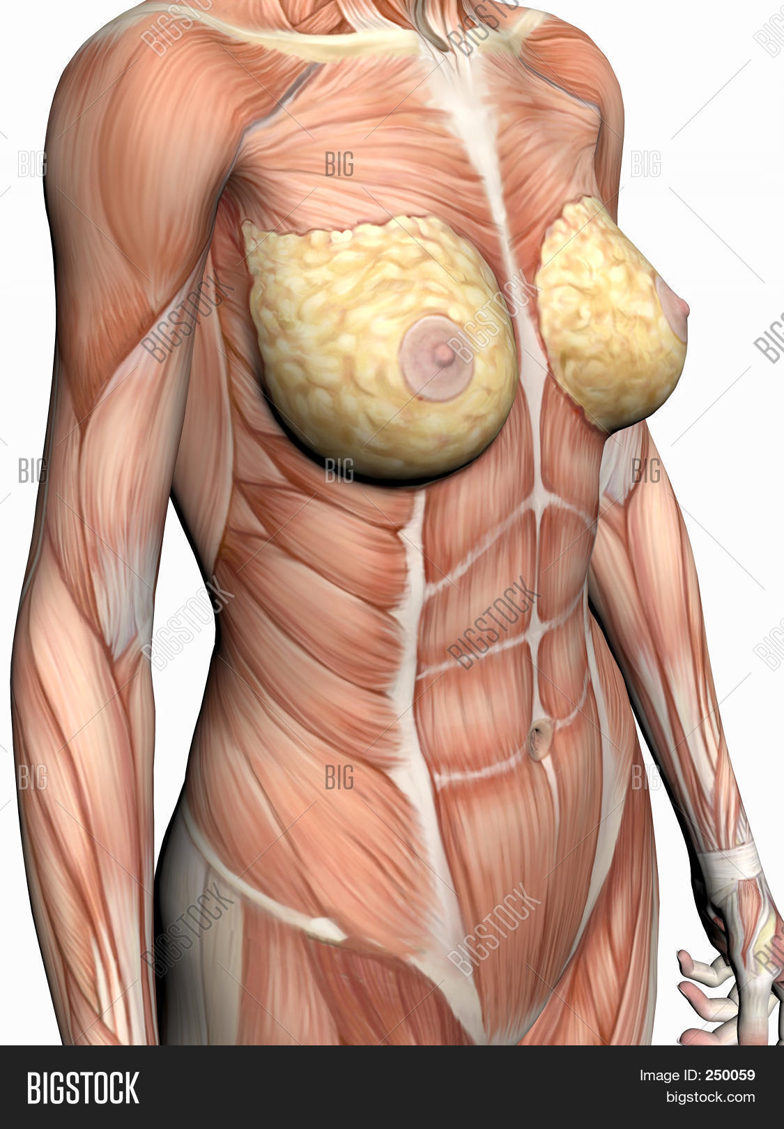 Anatomy Woman Image & Photo (Free Trial) | Bigstock