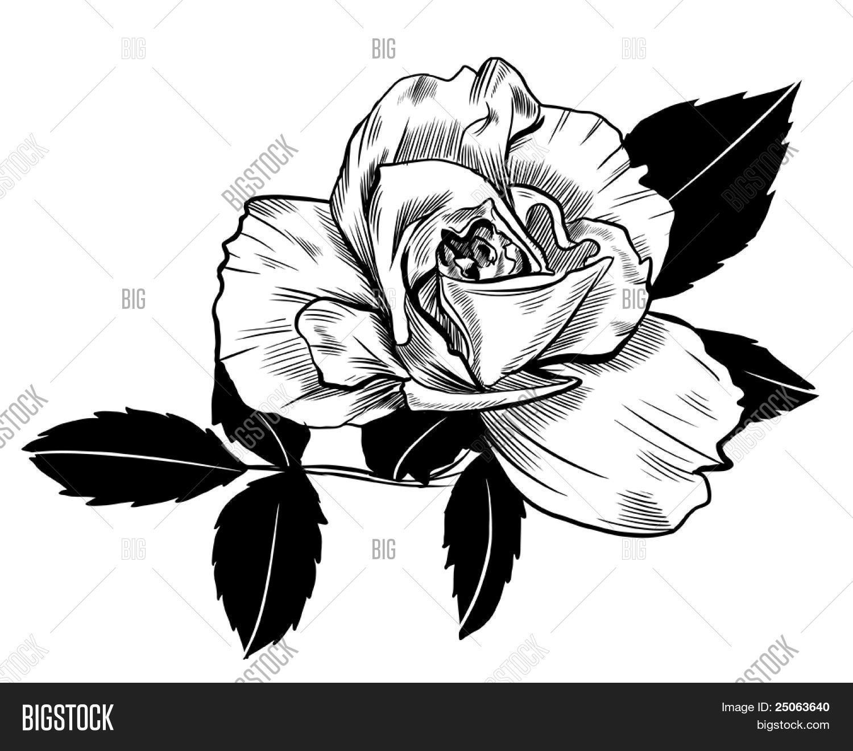 hand drawn rose vector photo free trial bigstock