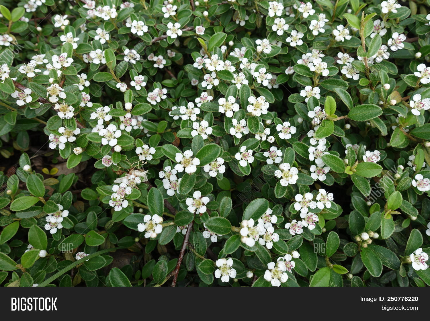 Small White Flowers Image Photo Free Trial Bigstock