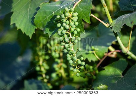 Green, Unripe, Young Wine Grapes In Vineyard, Early Summer On Vines In Vineyard