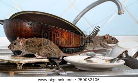 Two Young Rat (rattus Norvegicus) Climbs On Dirty Dishes In The Kitchen Sink. Two Old Pans And Crock