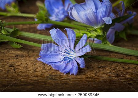 Chicory flower (Cichorium intybus) close up on a table