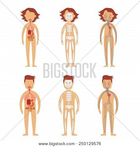 Human internal organs in male and female bodies set with schematic images of gastrointestinal tract, skeletal and cardiovascular system isolated on white background. Vector illustration. poster
