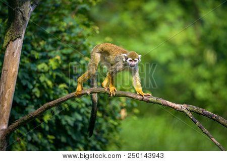 Common Squirrel Monkey Also Known As Saimiri Sciureus Walking On A Tree Branch