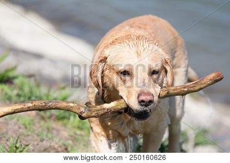 Labrador Retriever (canis Lupus Familiaris) Holding Large Stick In Mouth. Yellow Dog With Wet Fur Co