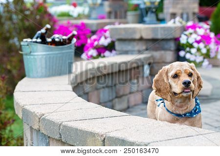 Cute curious little golden cocker spaniel puppy wearing a blue bandanna peering over the top of a curved nrick patio wall overlooking the garden with an alert expression poster