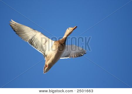 Soaring_Female_Mallard