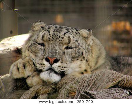 Snow_Leopard