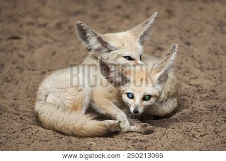 Fennec foxes (Vulpes zerda). Wildlife animal.