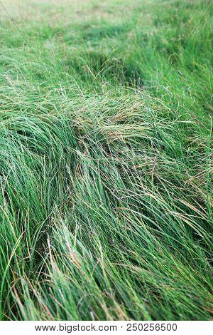 Field Of High Green Grass. Nature. Windy