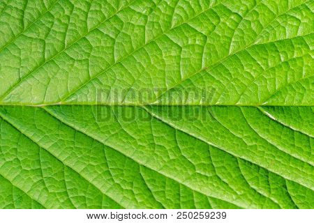 Close-up Of A Beautiful Natural Green Leaf Background Texture. View To A Structured Natural Surface