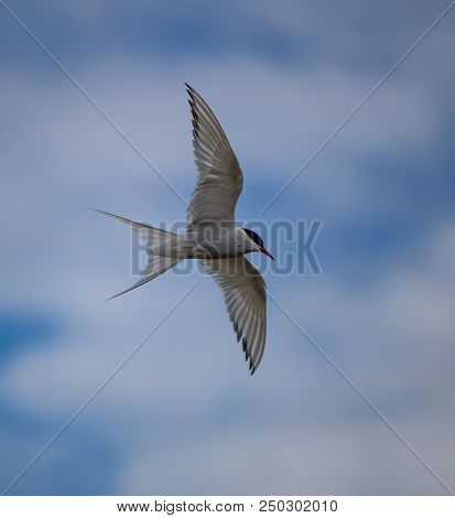 Arctic Tern In Flight In The South Coast Of Iceland