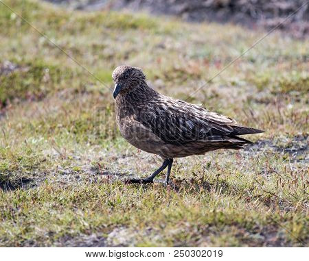 Great Skua Walking On The Ground In Iceland