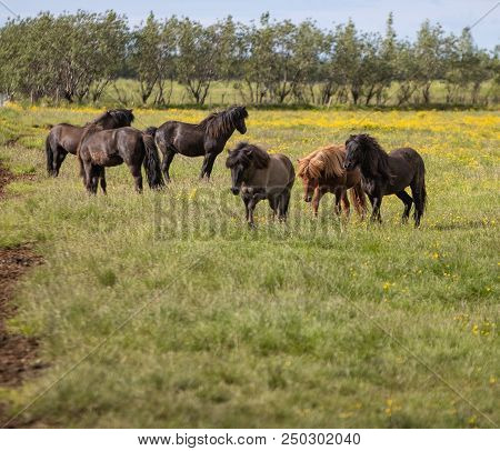 Group Of Icelandic Horses In A Grass Field