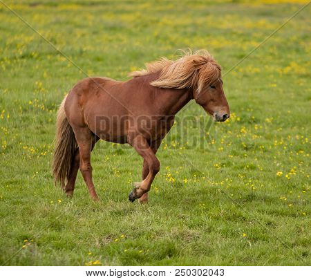Tan Icelandic Horse In A Grass Field
