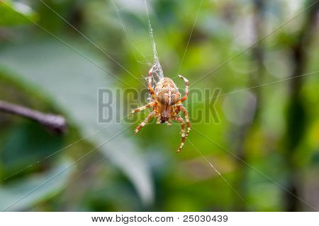 cross spider on its web in forest
