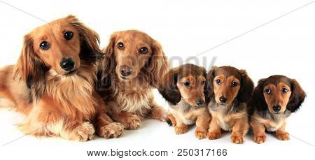 Two longhair purebred dachshund dogs and their puppies, studio isolated on white.
