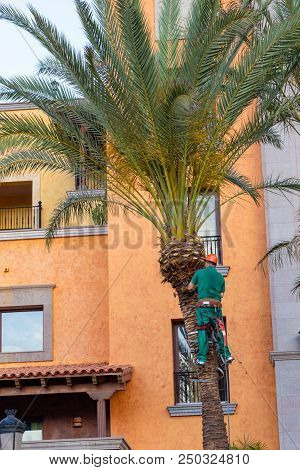 Worker Who Pruning Palm Trees. Tree Surgeon In Harness Trims Palm Tree.