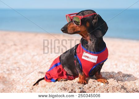A Dog Dachshund Breed, Black And Tan, In A Red Blue Suit Of A Lifeguard And Red Sunglasses, Sits On