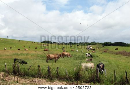 Cows grazing in a field as birds fly around poster